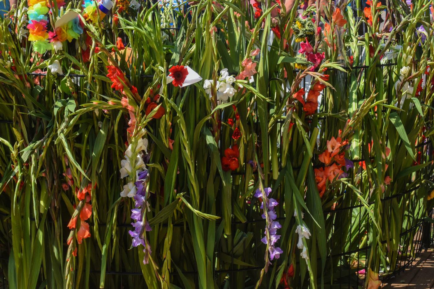 De gladiolen op de Wedren