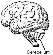 De kleine hersenen